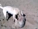 Кангал VS небольшой волк 3 (притравка Собачьи бои)