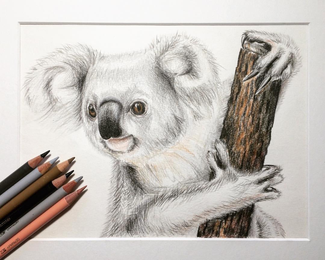 1000 ideas about koala illustration on pinterest