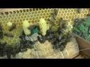 Надежный индикатор роения пчел