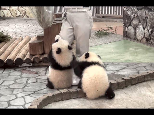 【あそんで~ッ♪】パンダの桜浜&桃浜☆お掃除おじゃま虫♪ Giant panda baby -Ouhinamp