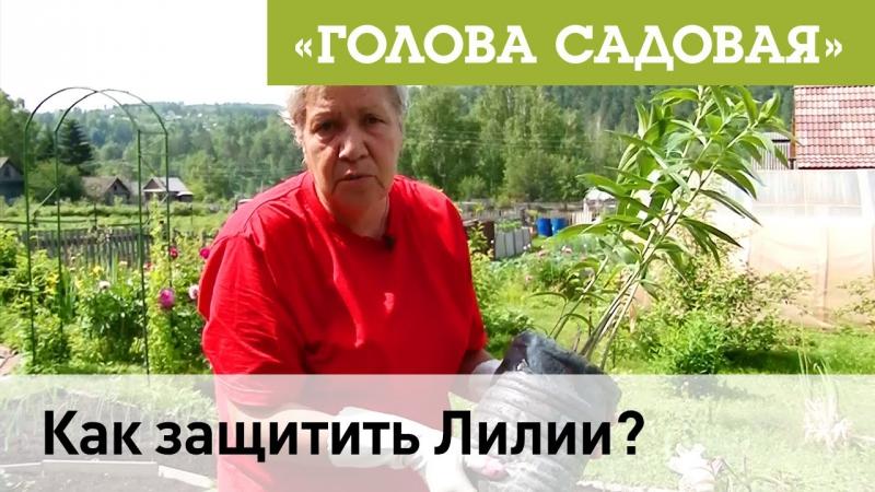 Голова садовая - Как защитить Лилии?