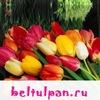 Луковицы тюльпанов оптом из Голландии