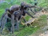 Тарантул vs скорпиона