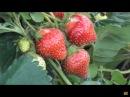 43 Клубника Борьба за урожай начинается весной