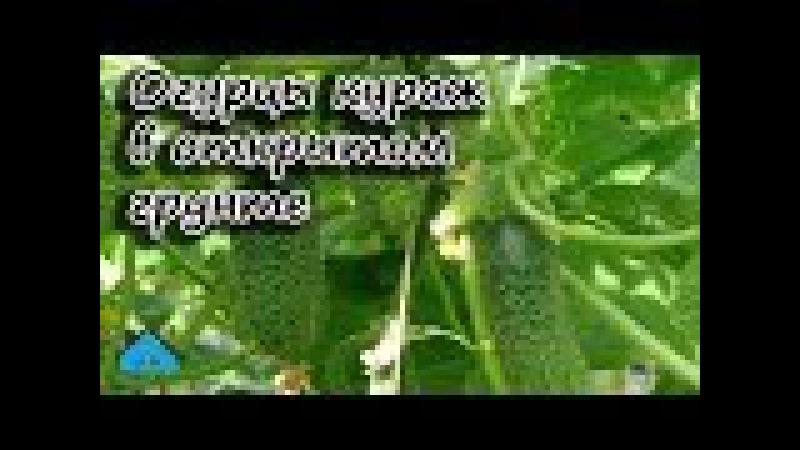 Огурцы - Кураж в открытом грунте