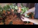 Размножение садовой земляники (клубники) рожками. Часть 1.
