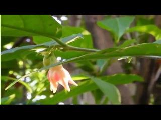 Wrightia dubia или Морская звезда - очень редкий вид райтии. Кораллово-красные восковидные цветы выглядят несколько искусственны