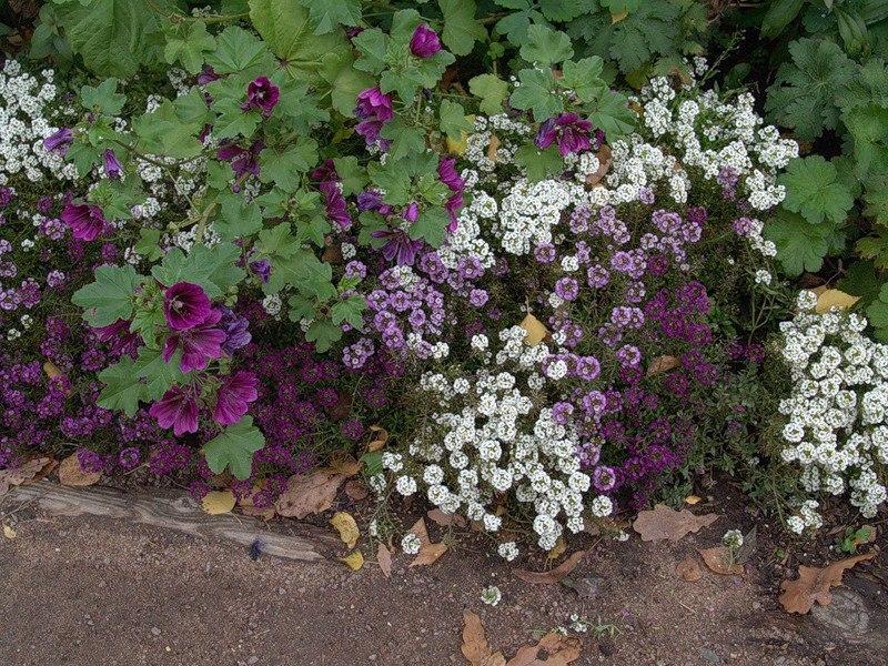 Растения для альпийской горки-алиссум