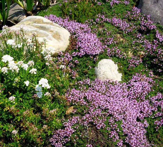 Растения для альпийской горки-тимьян