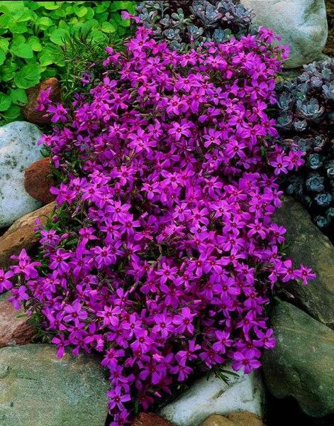 Растения для альпийской горки-флокс шиловидный