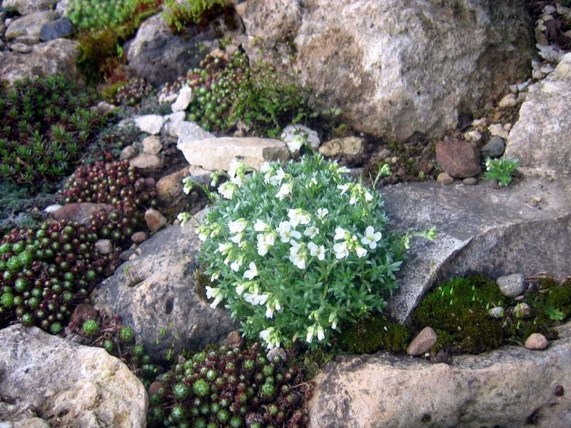 Растения для альпийской горки-арабис или резуха