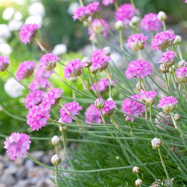 Растения для альпийской горки-армерия