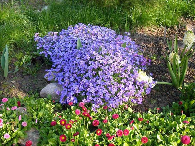 Растения для альпийской горки-аубреция голубая, маргаритки