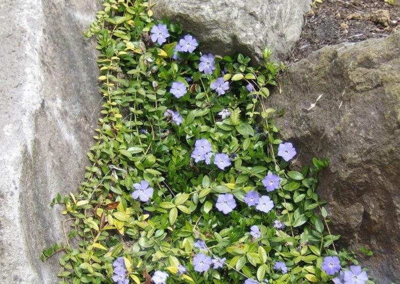 Растения для альпийской горки-барвинок малый