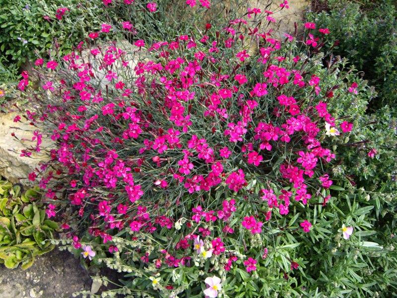 Растения для альпийской горкигвоздика травянка-