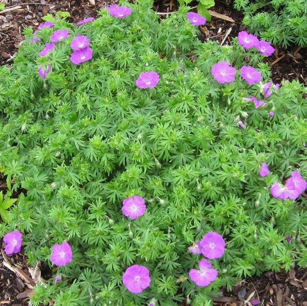 Растения для альпийской горки-герань