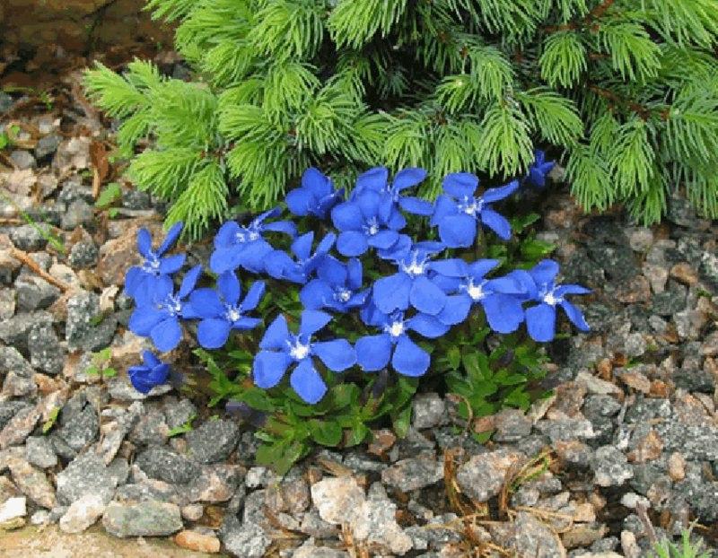 Растения для альпийской горки-горечавка