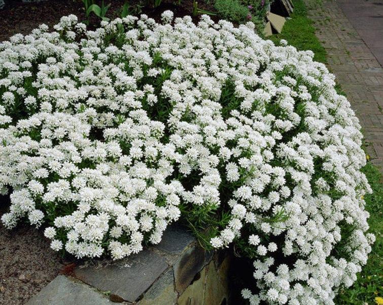 Растения для альпийской горки-иберис