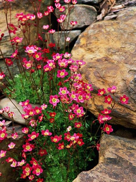 Растения для альпийской горки-камнеломка