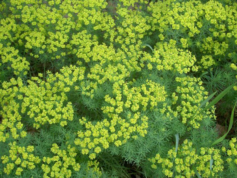 Растения для альпийской горки-молочай кипарисовый