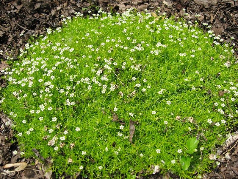 Растения для альпийской горки-Мшанка шиловидная или ирландский мох