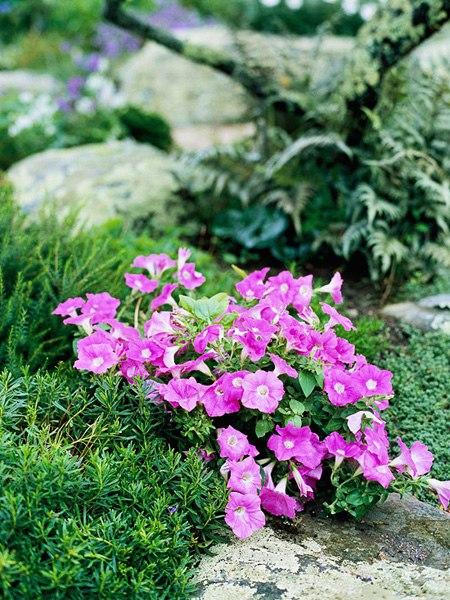 Растения для альпийской горки-петуния