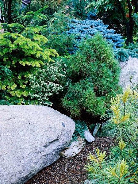 Растения для альпийской горки-хвойные