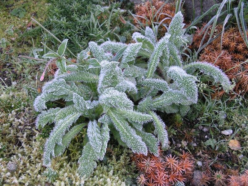 Растения для альпийской горки-чистец шерстистый