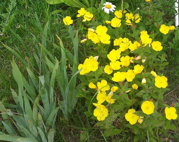 Растения для альпийской горки-энотера
