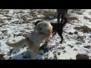 Собачий бой шуня