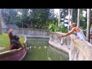 Прикол с орангутаном