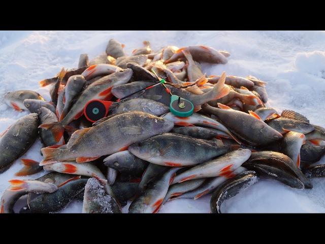 Крупный окунь зимой на мормышку | СУМАСШЕДШИЙ КЛЕВ НА КАЖДОЙ ПРОВОДКЕ! | Зимняя рыбалка на окуня