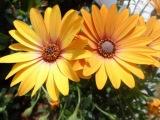 Margarita del Cabo, остеоспермум, африканская ромашка, музыка любви, музыка цветов