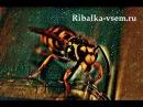 Чем питаются осы или вкусные сосиски Видео осы которая пытается унести сосиски Рыбалка дикарями