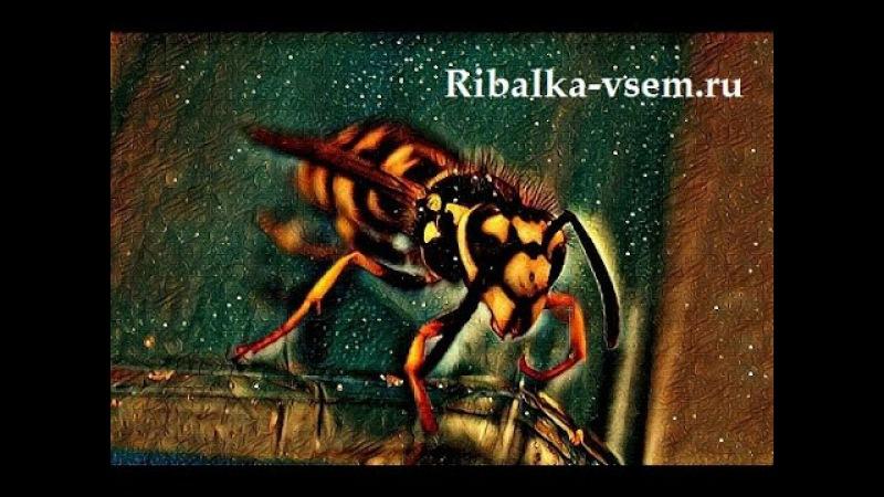 Чем питаются осы или вкусные сосиски. Видео осы, которая пытается унести сосиски. Рыбалка дикарями