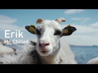 """Встречайте """"шерстяных"""" гидов из Норвегии - овец с видом на фьорд!"""