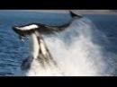 Касатка жестоко убивает дельфинов / Охота касаток на дельфинов - Удивительные ка...