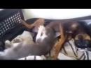 Кiтся сосёт собаке