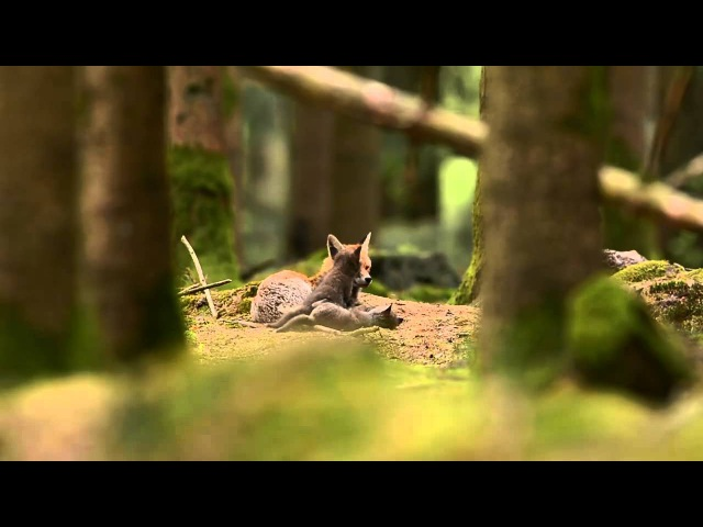 Wild Fox Family Playing in the Woods Will Inspire You to Stand Up for the Planet!