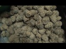 Заготовка кедрового ореха. Ходим по кедрам в Когтях. Кедр. Тайга. Сибирь.