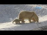 Родившийся в зоопарке Орто Дойду белый медвежонок впервые вышел в открытый вольер