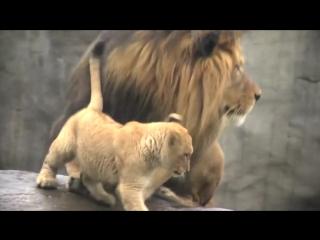 Заботливый лев