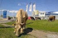 09 августа 2011 - Коровы в Тольятти