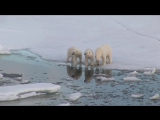 Polar bear  by Robert Hofmeyr  Белый медведь глазами Роберта Хофмайера