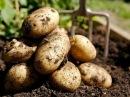 Что дает пригибание стеблей Эксперимент с картофелем