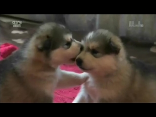 20 самых симпатичных щенков TOO CUTE