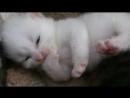 Котенок сосет лапку :* Kitten