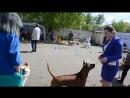 Тайский риджбек - Thai Ridgeback - выставка собак Орел - Dog Show - R.SS Gold@Siam