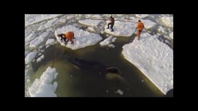 Как плачет «кит-убийца»: кадры спасения касатки Вилли из ледяного плена