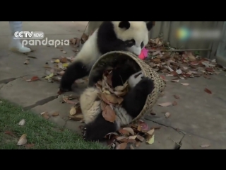 Giant pandas create trouble as staff cleans their house.